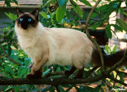 Old Style Balinese Cat