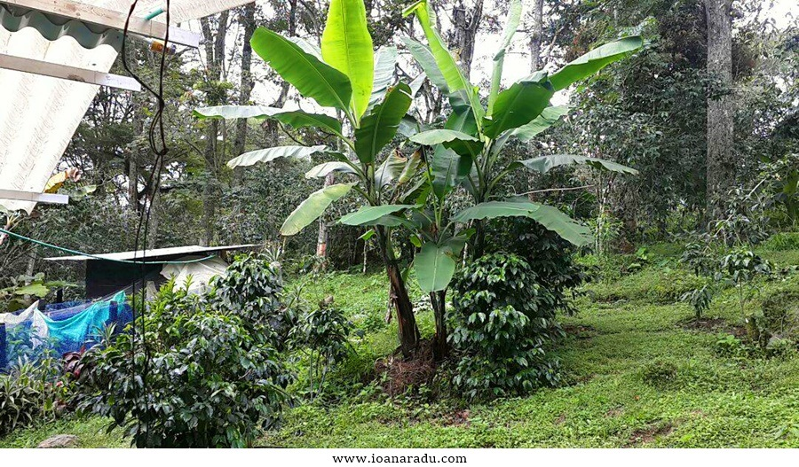 arbori de cafea